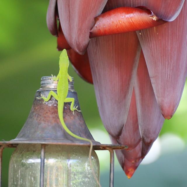 """Lizard & Bananaflower"" stock image"