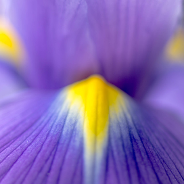 """Iris Flower"" stock image"