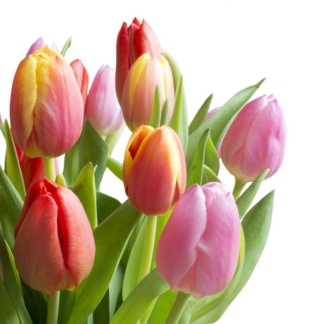 """Colorful tulips"" stock image"
