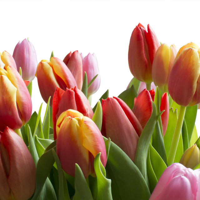 """Clear Color tulips"" stock image"