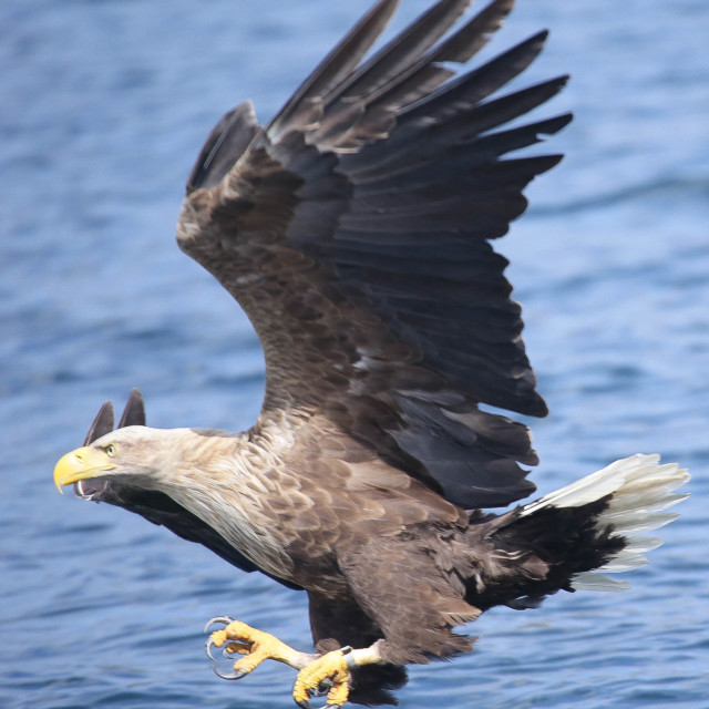 """White-tailed Sea Eagle"" stock image"