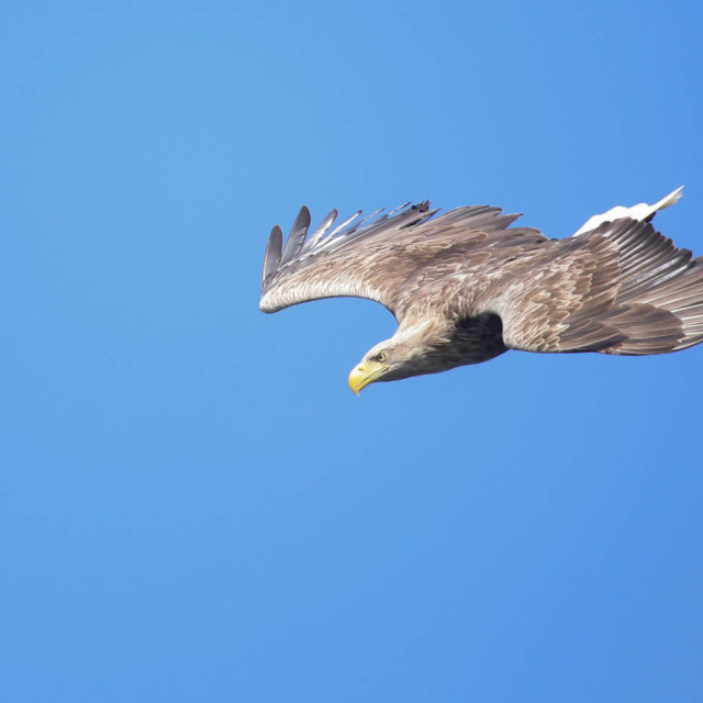 """White-tailed Sea Eagle Approch"" stock image"