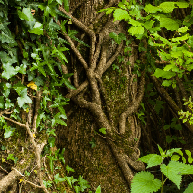 """""""Climbing ivy in the woods"""" stock image"""