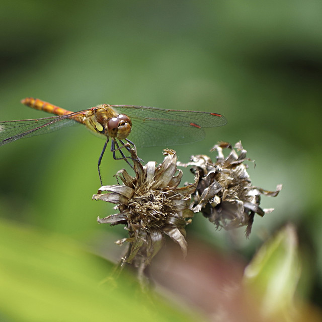 """""""Common Hawker dragonfly"""" stock image"""