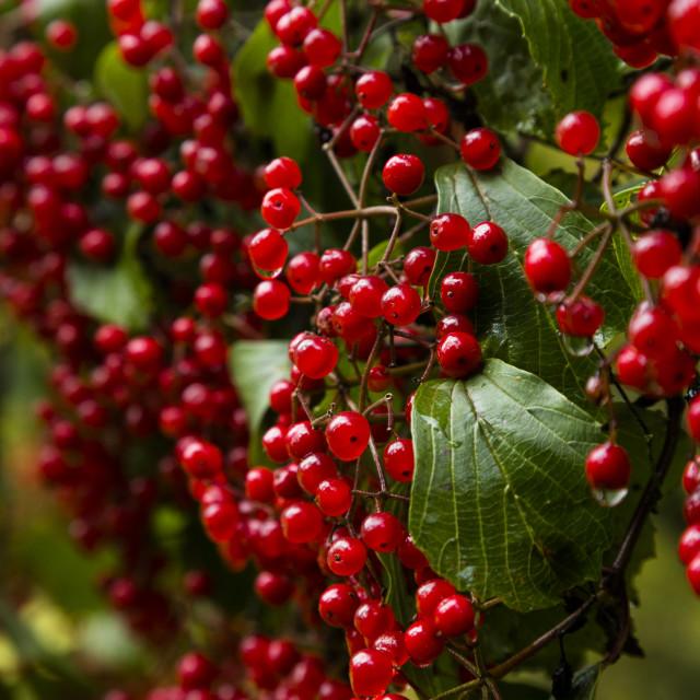 """Winter Berries 2"" stock image"