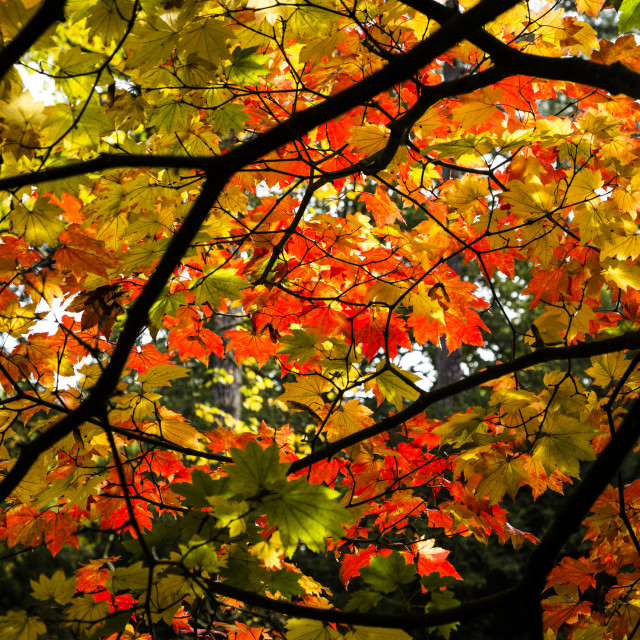 """Leaves changing Colour"" stock image"