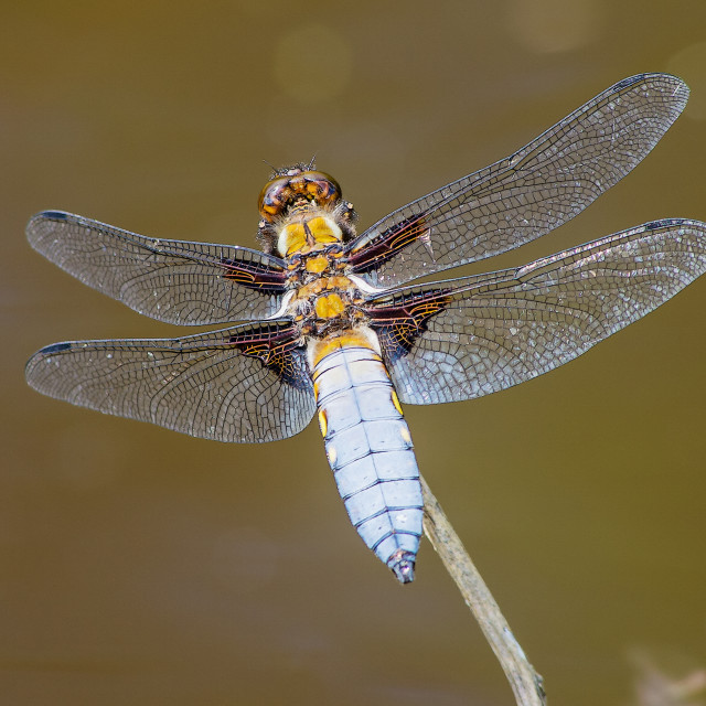 """""""Broad bodied chaser dragonly"""" stock image"""