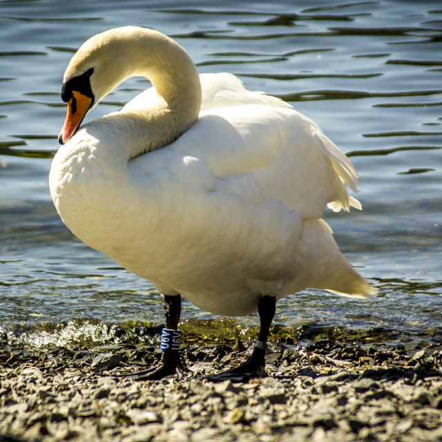 """""""Swan at Windermere"""" stock image"""