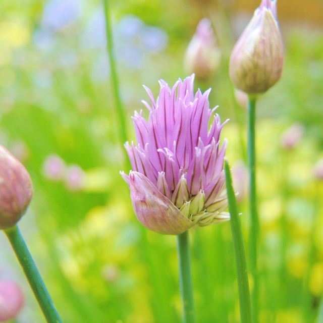 """Chives (Allium schoenoprasum)."" stock image"