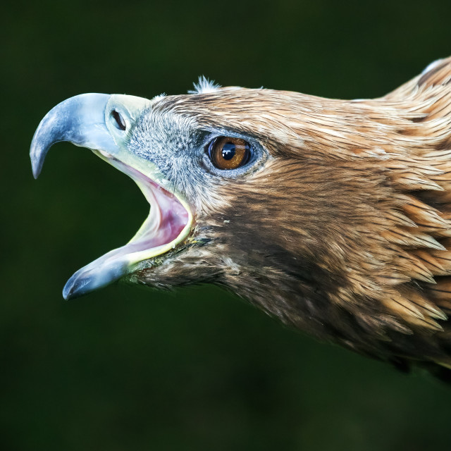 """Ferocious Golden Eagle"" stock image"