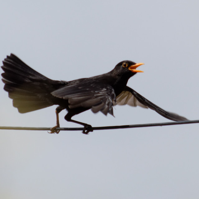 """Blackbird doing a balancing act"" stock image"