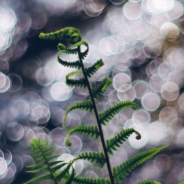 """Fern with bokeh"" stock image"