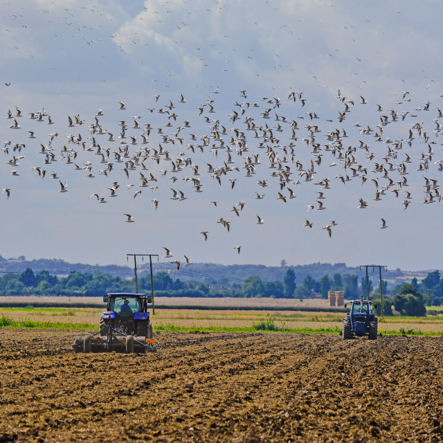 """Seagulls follow the plough"" stock image"