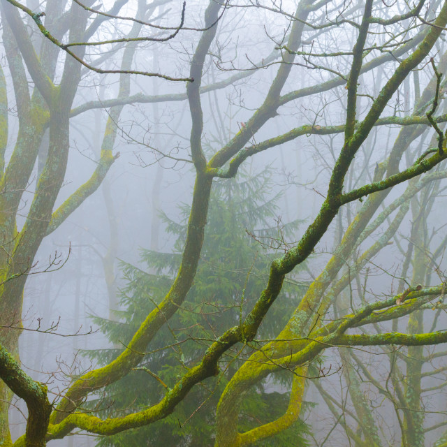 """""""Forest In Rainy Fog"""" stock image"""