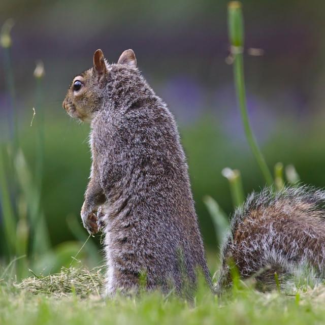 """Sit up Squirrel"" stock image"
