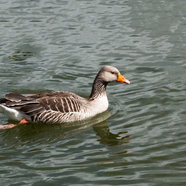 """Greylag Goose."" stock image"