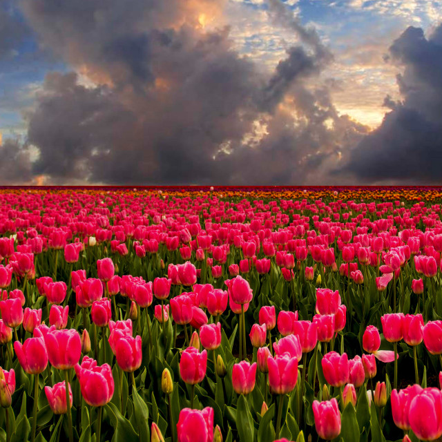 """Tulips!"" stock image"