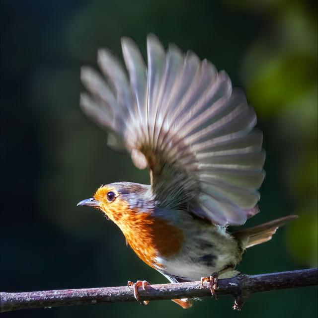 """Flighty Robin."" stock image"