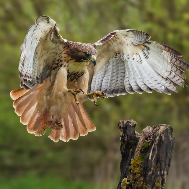 """Red-tailed hawk about to land."" stock image"