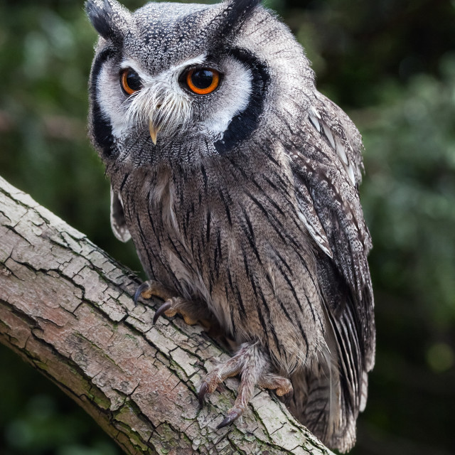 """""""Cheeky little White Faced Owl."""" stock image"""