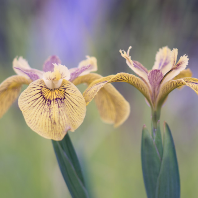 """Iris Flowers"" stock image"
