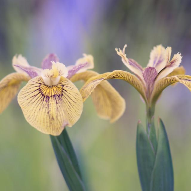 """""""Iris Flowers"""" stock image"""