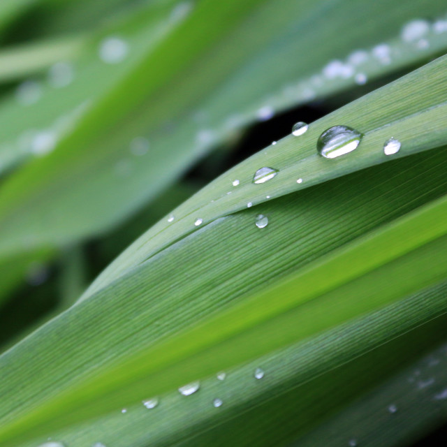 """raindrops on leaves"" stock image"