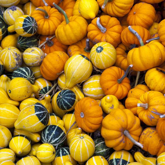 """Pumpkin Squash"" stock image"
