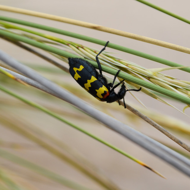 """Blister Beetle"" stock image"