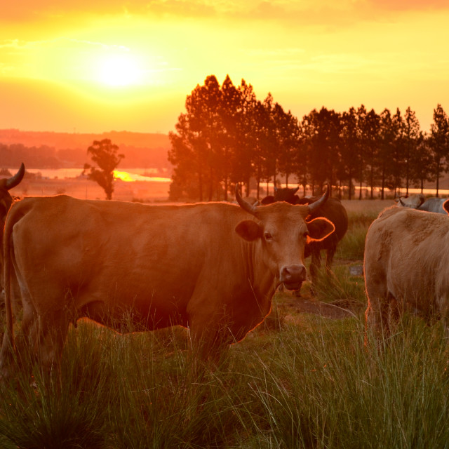 """Sunset Cow"" stock image"