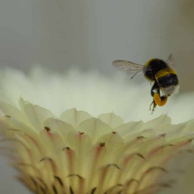 """""""Bumble Bee over Cactus flower"""" stock image"""