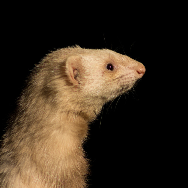 """""""The best side of a ferret"""" stock image"""