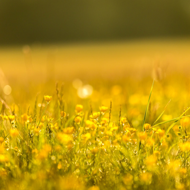 """""""Buttercup Meadow"""" stock image"""