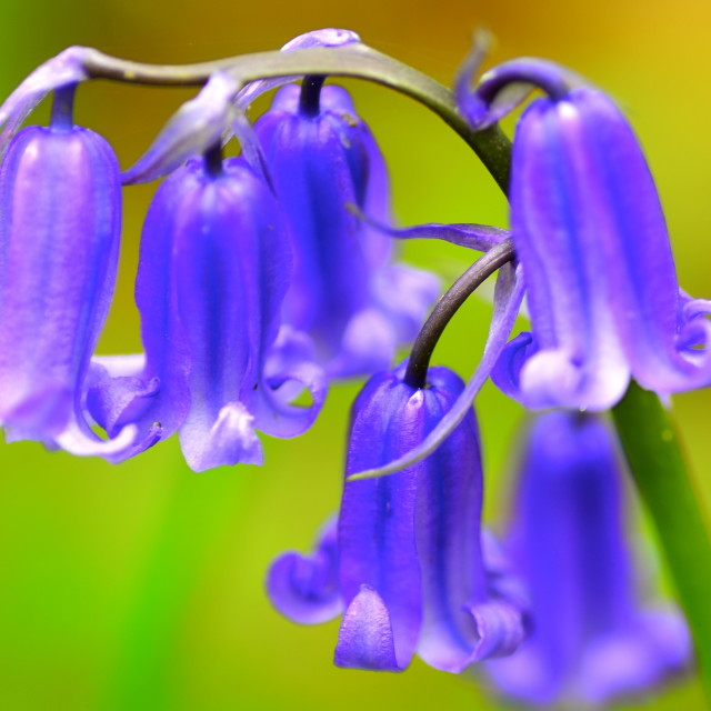 """Droopy Bluebells"" stock image"