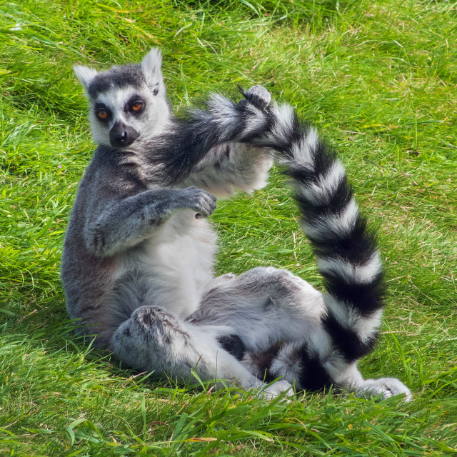 """Ring-tailed lemur makes a ring with his tail"" stock image"