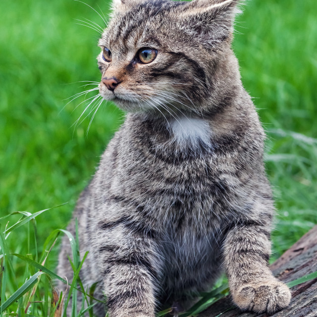 """Curious Scottish wildcat kitten"" stock image"