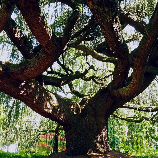 """Cedar Tree Canopy"" stock image"