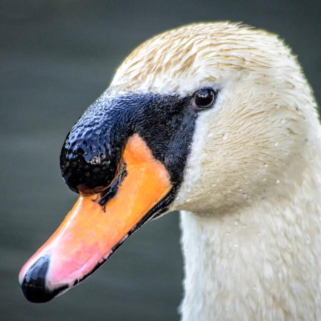 """Mute swan head"" stock image"