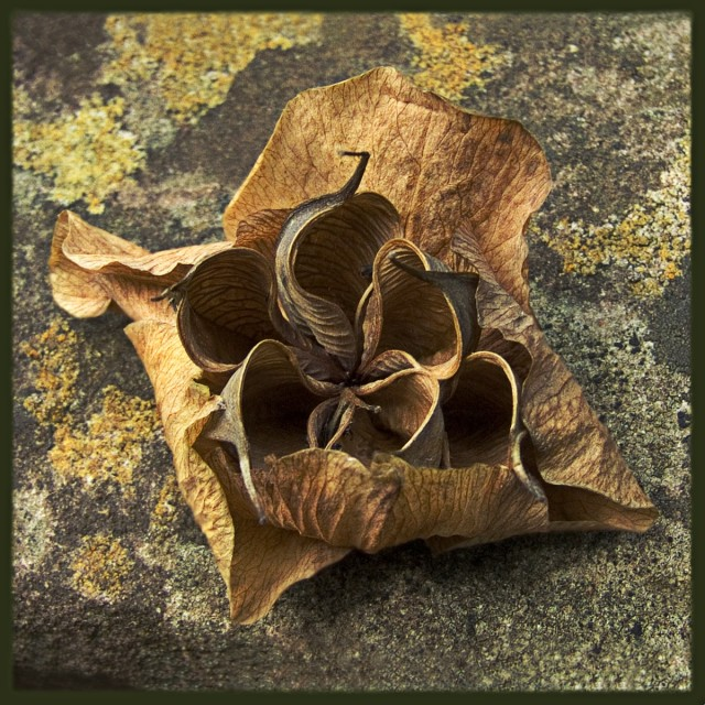 """Dried Hellebore flower"" stock image"