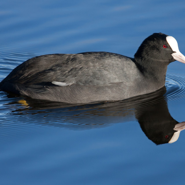 """Adult Coot on Still Water"" stock image"