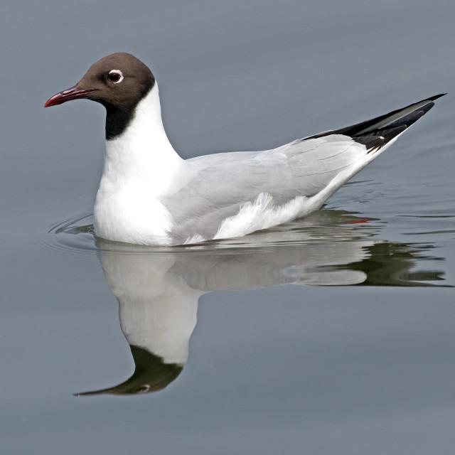 """""""Black-headed Gull on Still Water"""" stock image"""