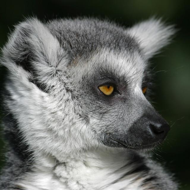 """Ring-tailed Lemur Closeup"" stock image"