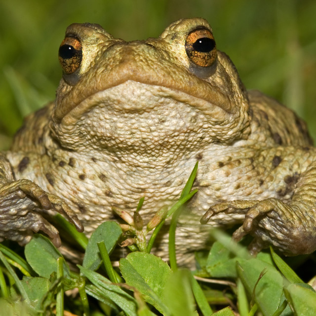 """Face to Face with a Large Toad"" stock image"