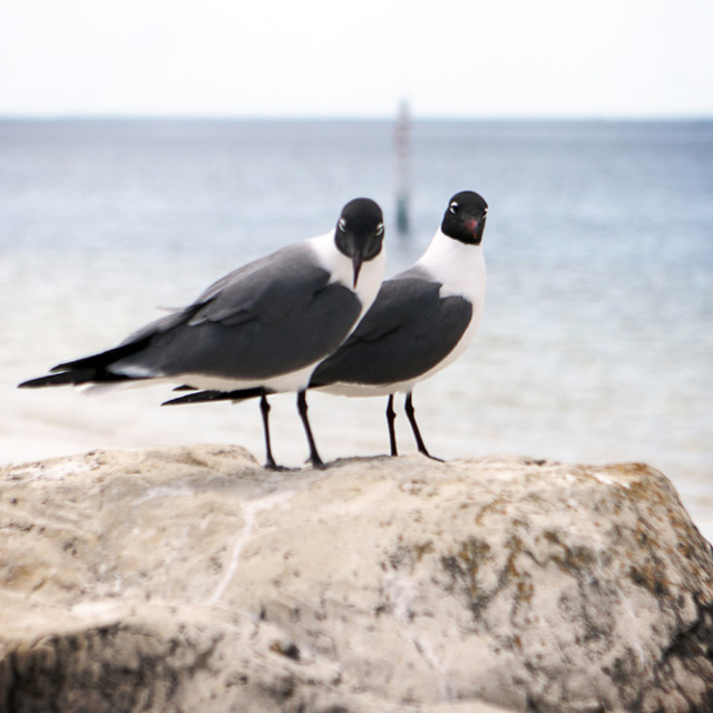 """Two Laughing Gulls"" stock image"