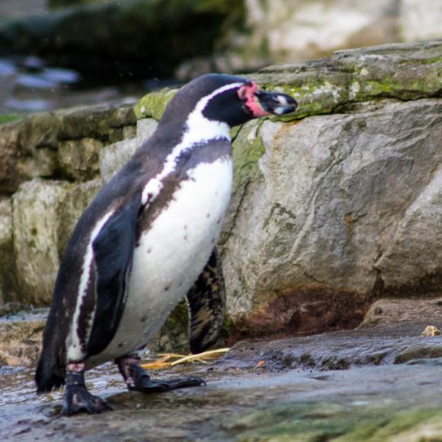 """Humboldt penguin"" stock image"