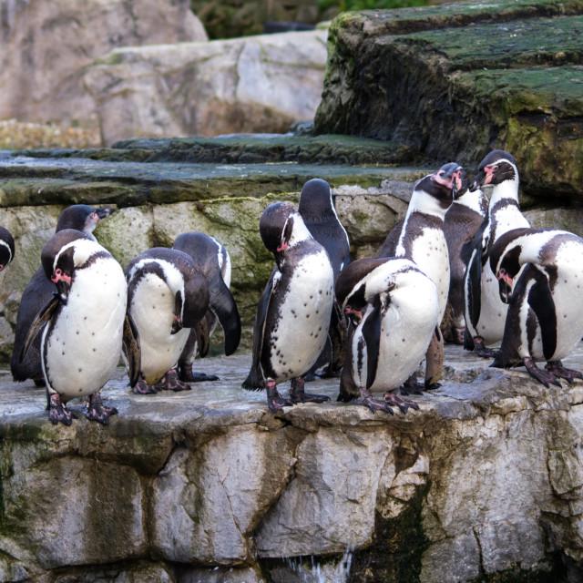 """Dozen Humboldt penguins"" stock image"