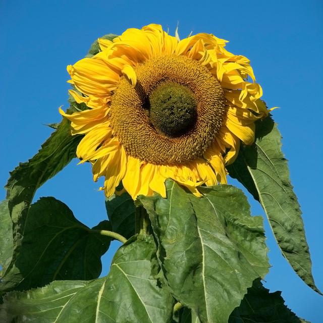 """Yellow sunflower closeup"" stock image"