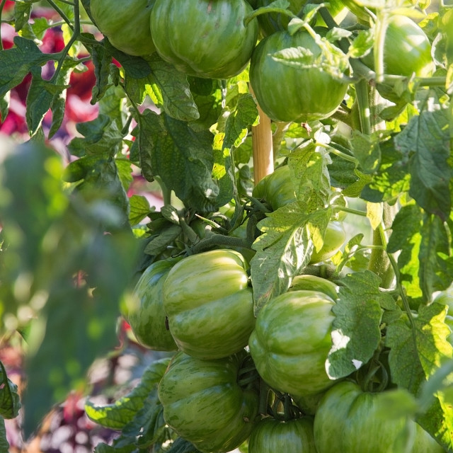 """Green tomatoes ripening"" stock image"