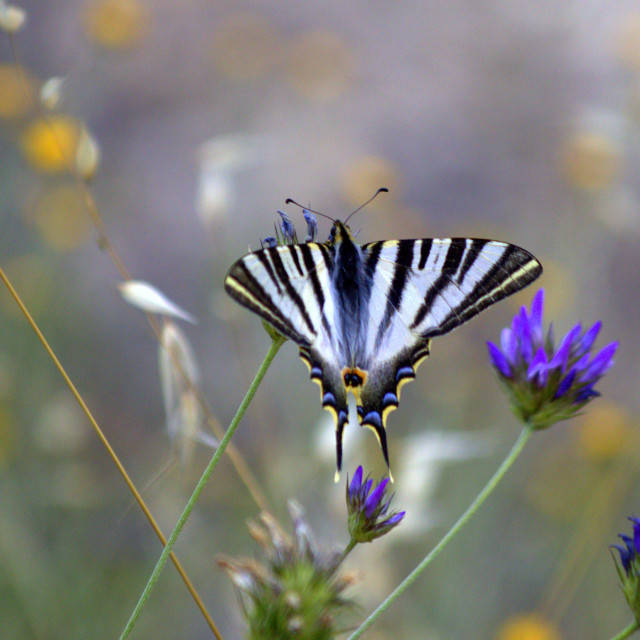 """Scarce Swallowtail Butterfly"" stock image"