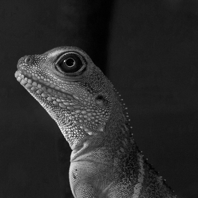 """Mono Water Dragon Close Up"" stock image"